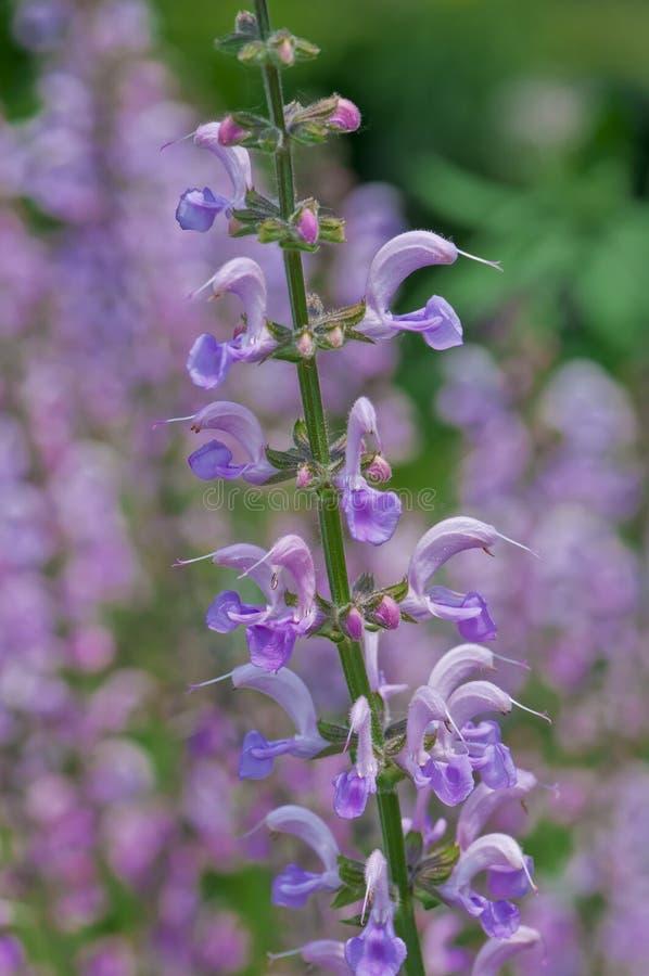 Download Panstemon Flower stock photo. Image of blossom, garden - 19814642