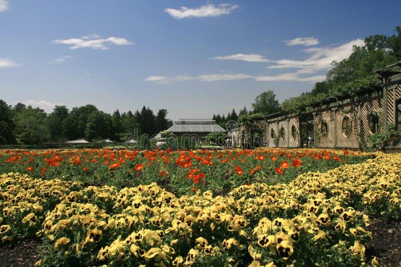 pansy сада стоковые фото