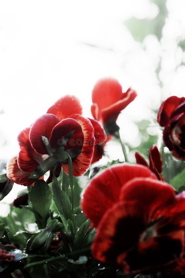 Pansy цветка завод принадлежит к фиолетовой семье стоковые изображения rf