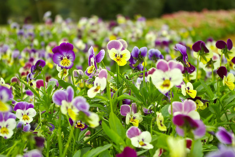 Pansy. Large areas are blooming pansy stock image