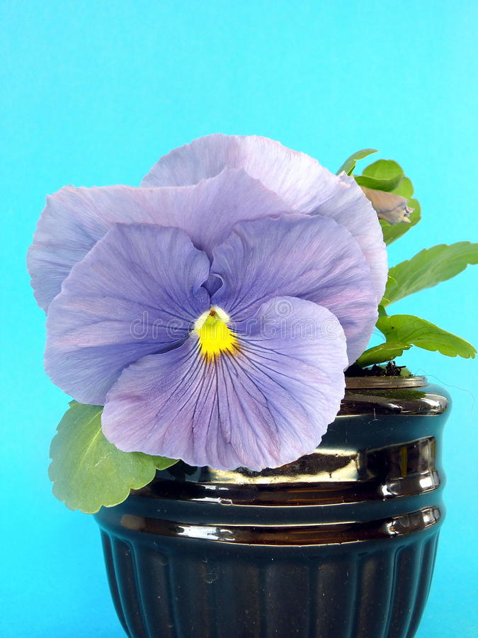 Download Pansy stock photo. Image of blue, plant, spring, single - 19342856