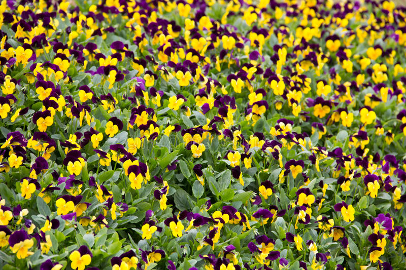 Download Pansy stock image. Image of grow, colorful, petal, floral - 28727585