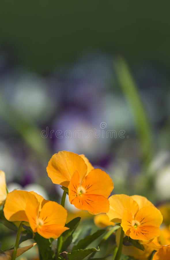 pansy stock afbeelding