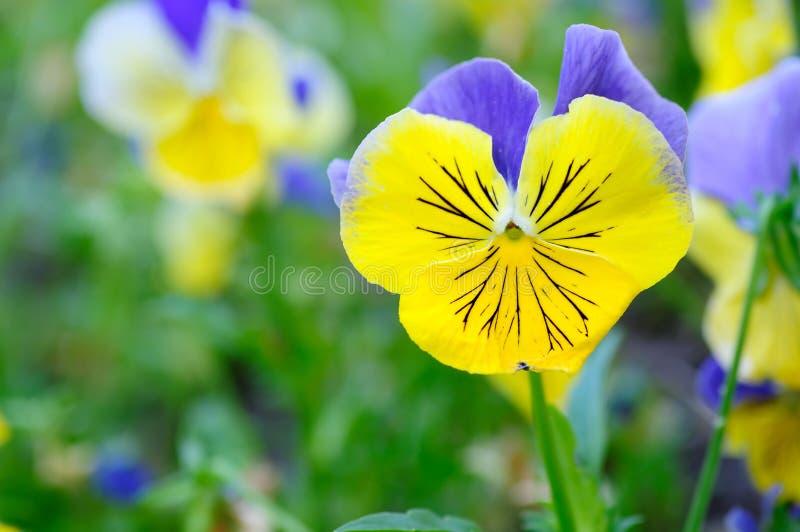 pansy błękitny kolor żółty zdjęcie royalty free