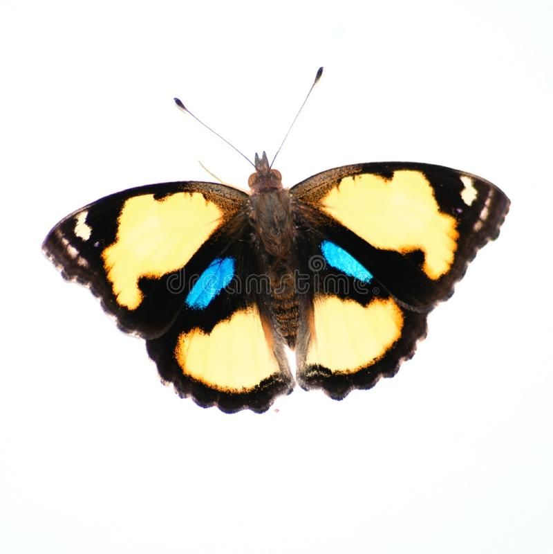 Pansy Butterfly amarilla imágenes de archivo libres de regalías