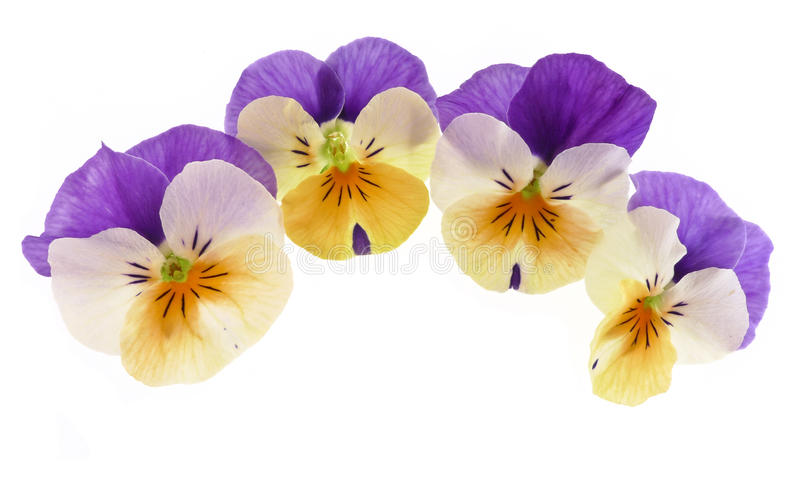 Pansy decoration royalty free stock photography
