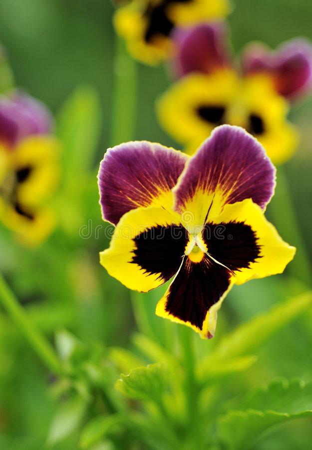 Pansy flower. Close up of pansy flower in the garden royalty free stock image