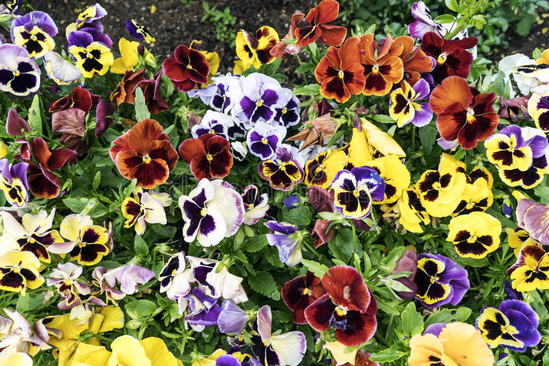Pansy flower. Pansy, flower bed bloom in the garden stock images