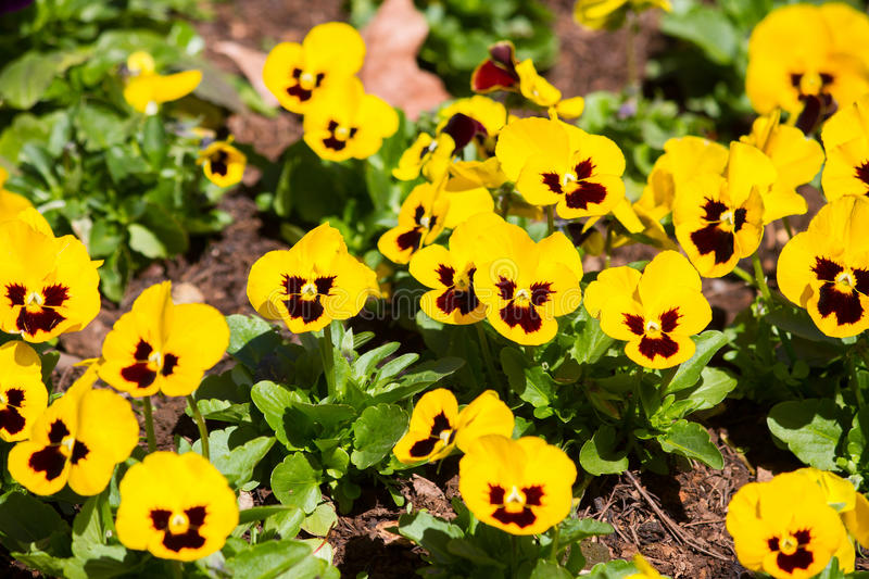 Pansy, flower bed bloom in the garden. stock photo