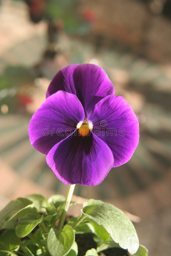 Pansy flower close up