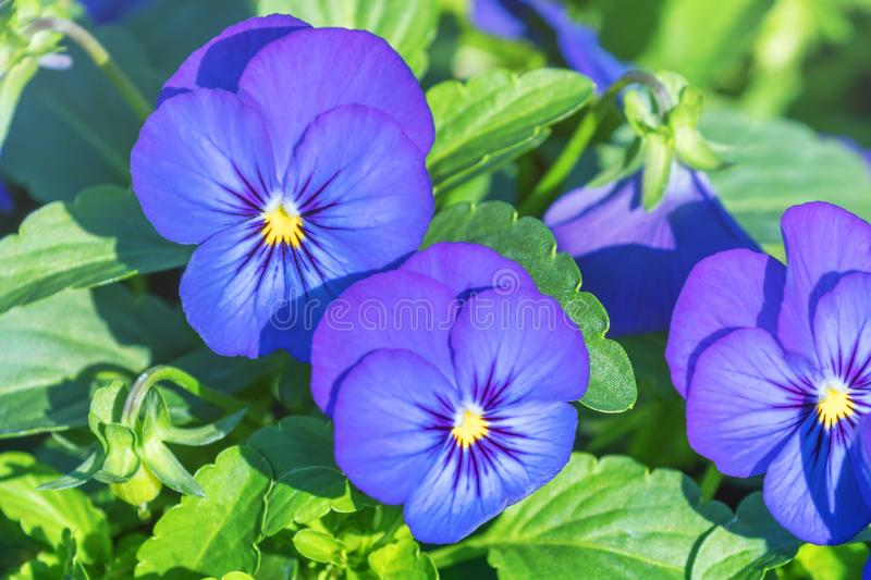Pansy Flower Close Up, Blue Pansy in Garden stock images