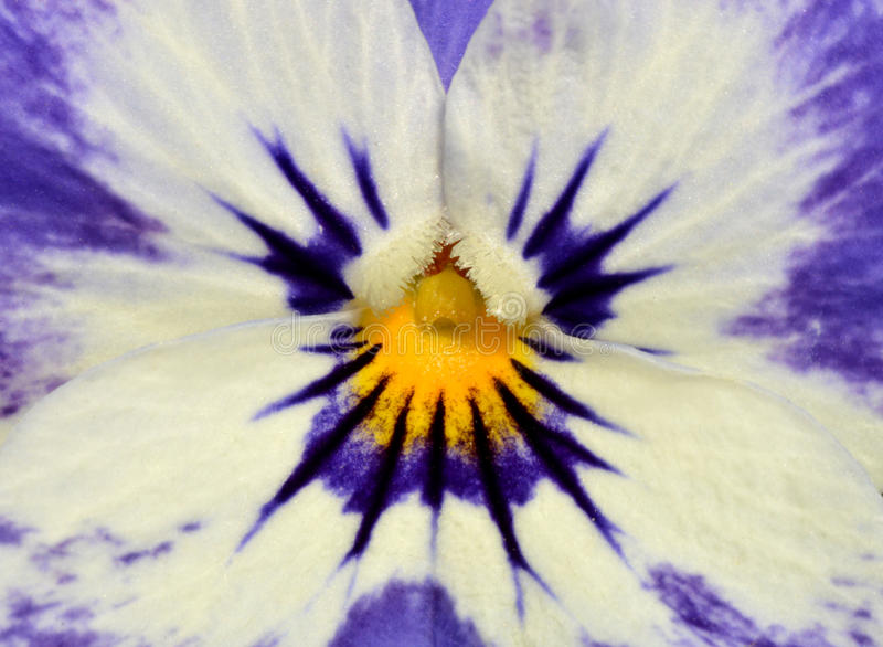 Download Pansy Flower Closeup Stock Photo - Image: 39975116