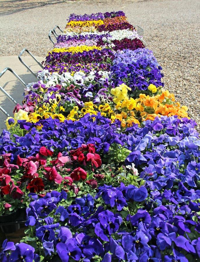 Pansy flower display. Photo showing a display of pretty pansies and violas in metal trolleys in akent nursery stock photos