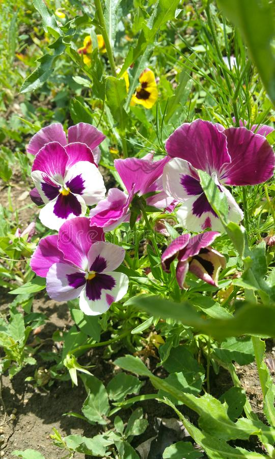 Pansy flower - Eutopia Gardens Rosary stock photography
