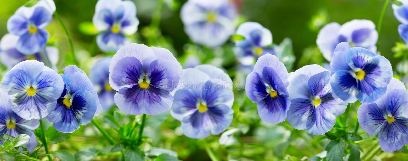 Pansy flower growing in the garden stock images