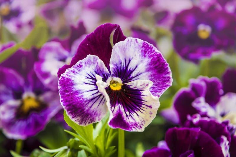 Pansy Flower livliga vita och purpurfärgade vårfärger Makrobilder av blommaframsidor Pens? i tr?dg?rden royaltyfri fotografi
