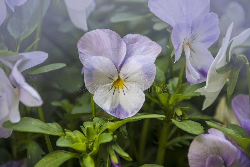 Pansy Flower livliga vita och purpurf?rgade v?rf?rger Makrobilder av blommaframsidor E royaltyfri foto