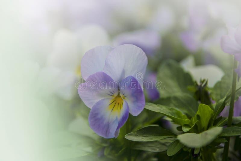Pansy Flower livliga vita och purpurf?rgade v?rf?rger Makrobilder av blommaframsidor E arkivbilder