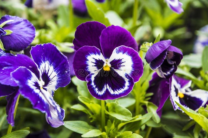 Pansy Flower livliga vita och purpurf?rgade v?rf?rger Makrobilder av blommaframsidor Pens? i tr?dg?rden arkivfoton