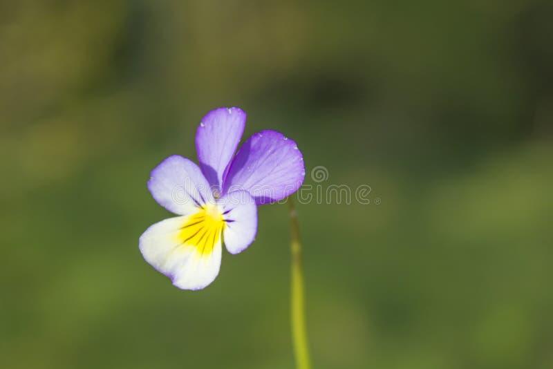 Pansy Flower nel giacimento di primavera immagine stock