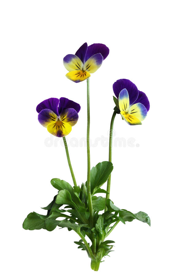 Pansy Flower Plant. Single pansy flower plant isolated on white background stock photography