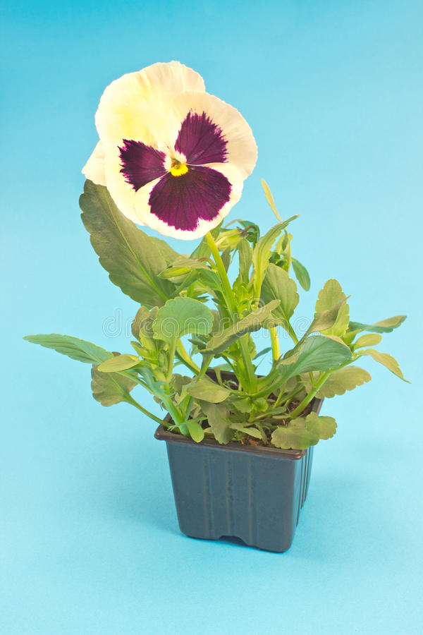 Pansy flower in pot isolated on blue royalty free stock photography