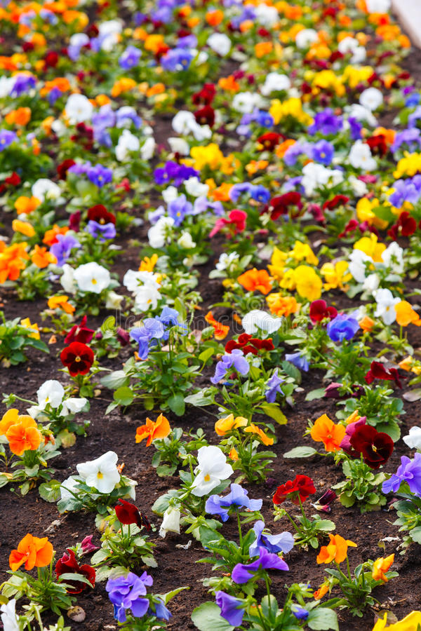 Download Pansy flower stock image. Image of multi, pansy, growth - 33812703