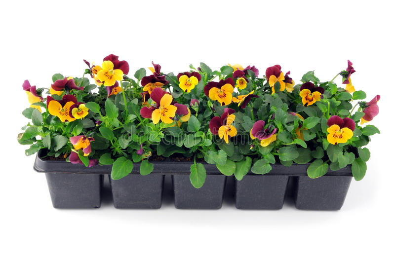 Pansy flower seedlings in a tray box on isolated background.  royalty free stock photography