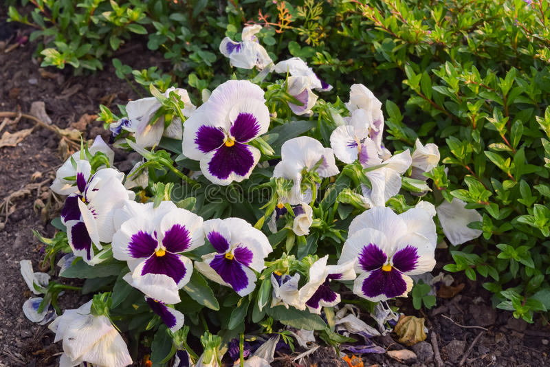 Pansy flower on a spring morning in chaukori Uttrakhand. Pansy is a type of large-flowered hybrid plant cultivated as a garden flower. It is derived by stock photo