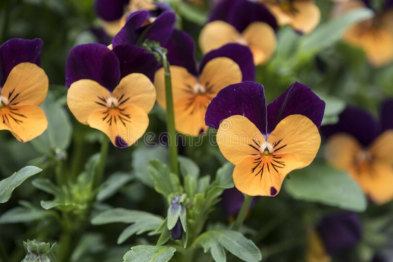 Pansy Flower vivid orange and purple spring colors. Macro images of flower faces. Pansies in the garden.  stock photo