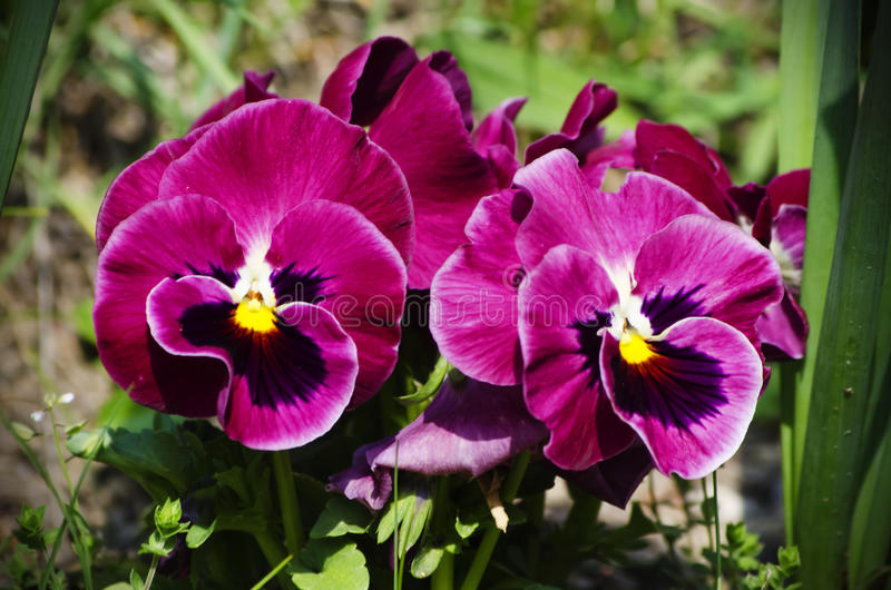 Pansy Flowers royaltyfria bilder