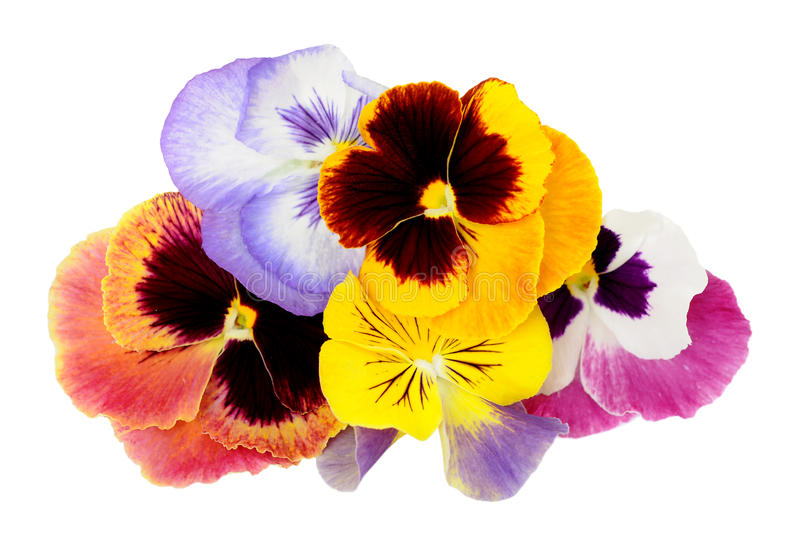 Pansy Flowers fotos de stock