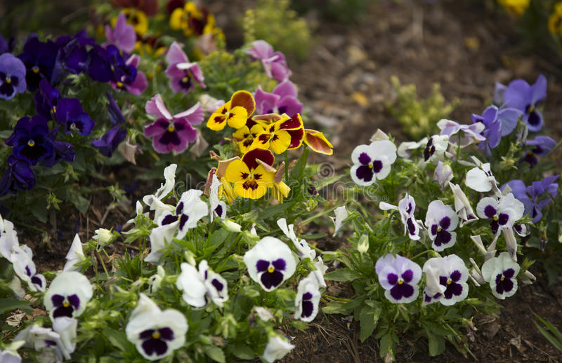 Pansy Flowers stockbilder