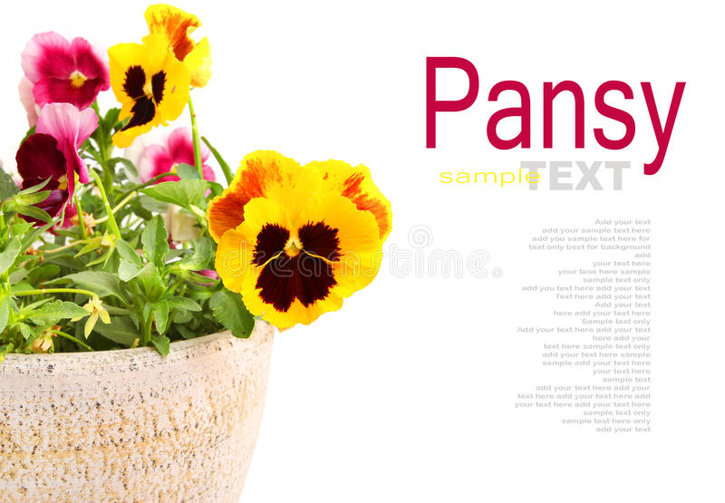 Pansy Flowers fotos de stock
