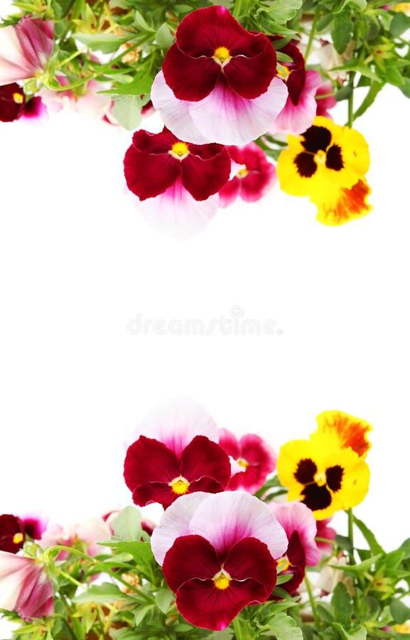 Pansy Flowers imagens de stock