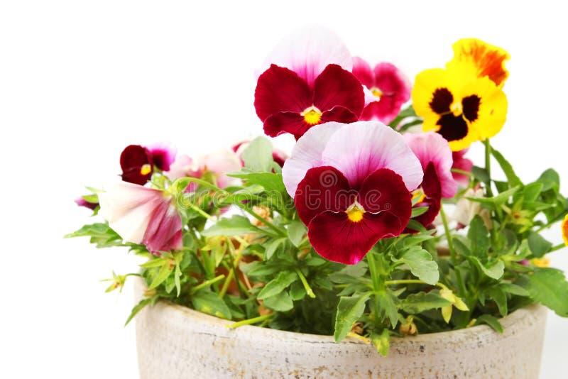 Pansy Flowers imagem de stock royalty free