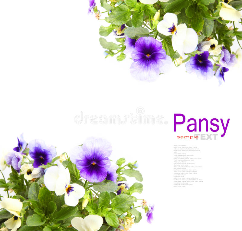 Pansy Flowers foto de stock royalty free