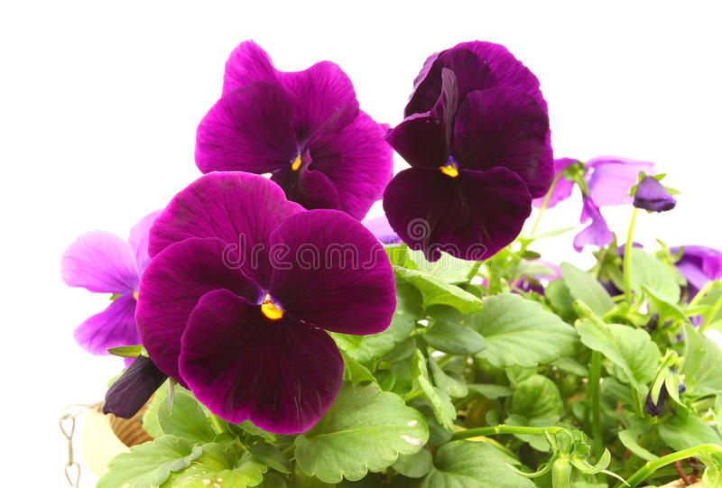 Pansy Flowers fotografia de stock royalty free