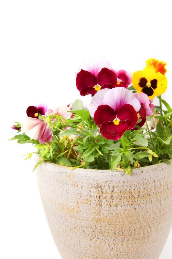 Pansy Flowers fotografia de stock