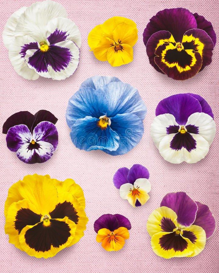 Pansy Flowers photo libre de droits