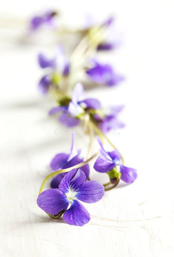 Pansy Flowers arkivbild