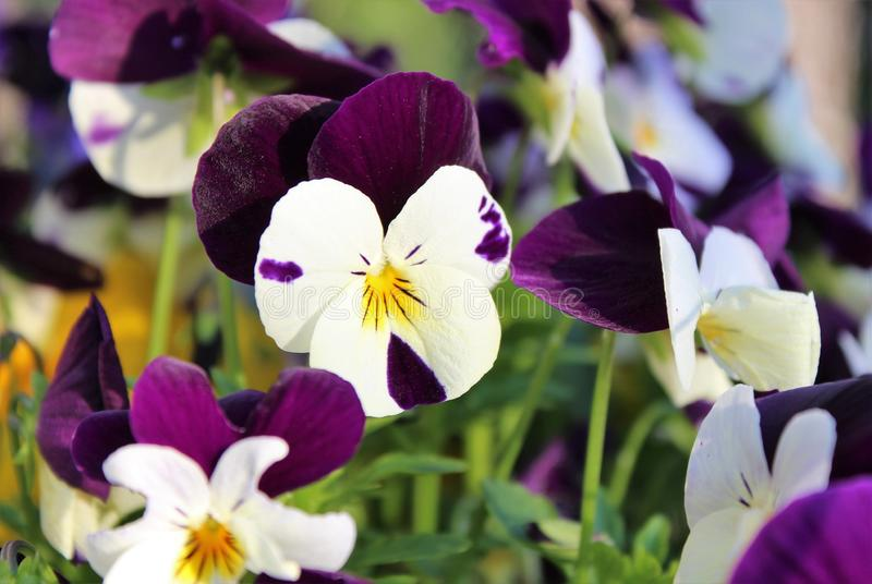 Pansy flowers bloom in spring stock image