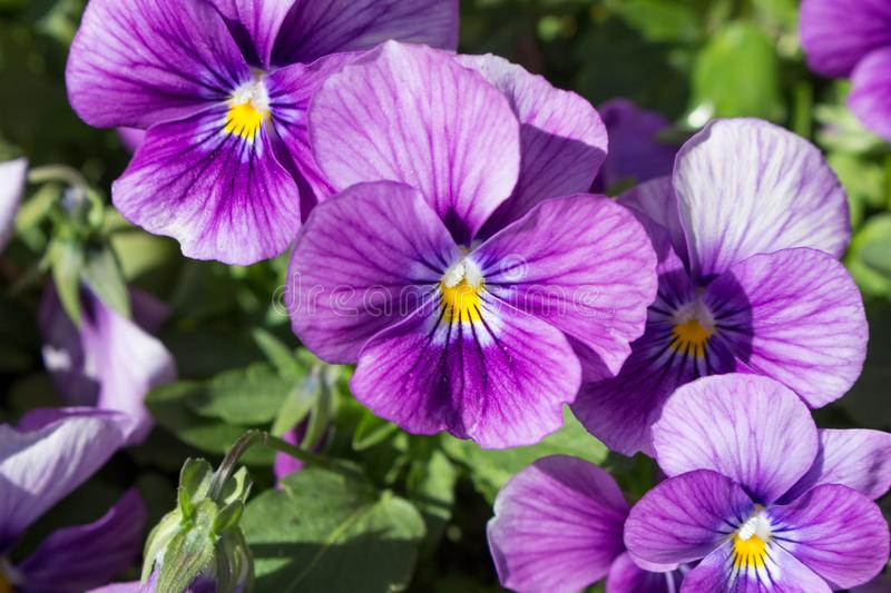 Pansy Flowers Blooming in the Garden stock image
