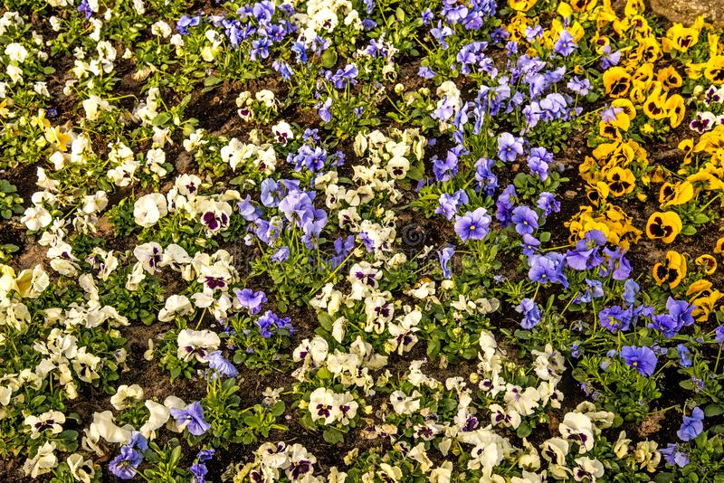 Pansy flowers in a city in spring. In Poland royalty free stock photo