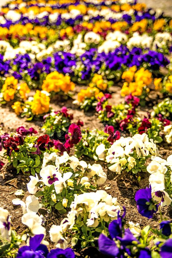 Pansy flowers in a city in spring. In Poland stock photos
