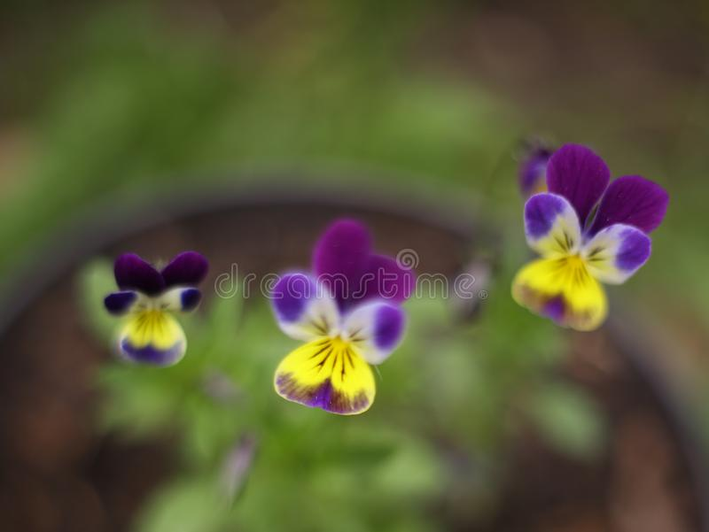 Pansy flowers close up photo stock image