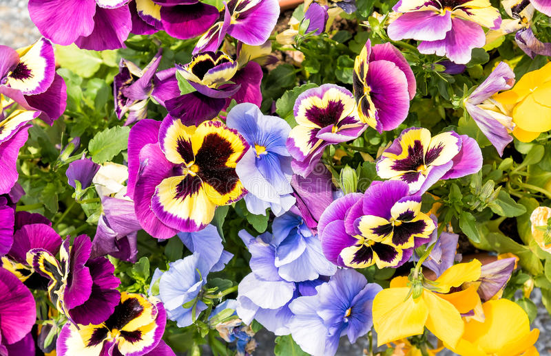 Pansy Flowers colorida, fundo floral imagens de stock