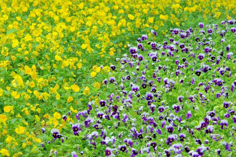 Pansy Flowers lizenzfreie stockfotos