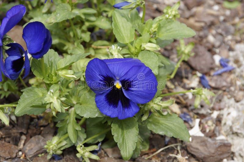 Pansy Flowers fjädrar livliga blått färger mot en frodig grön bakgrund arkivfoton