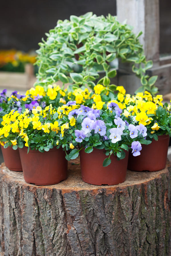 Pansy flowers in the garden. Springtime garden full of violet and yellow violas stock photo